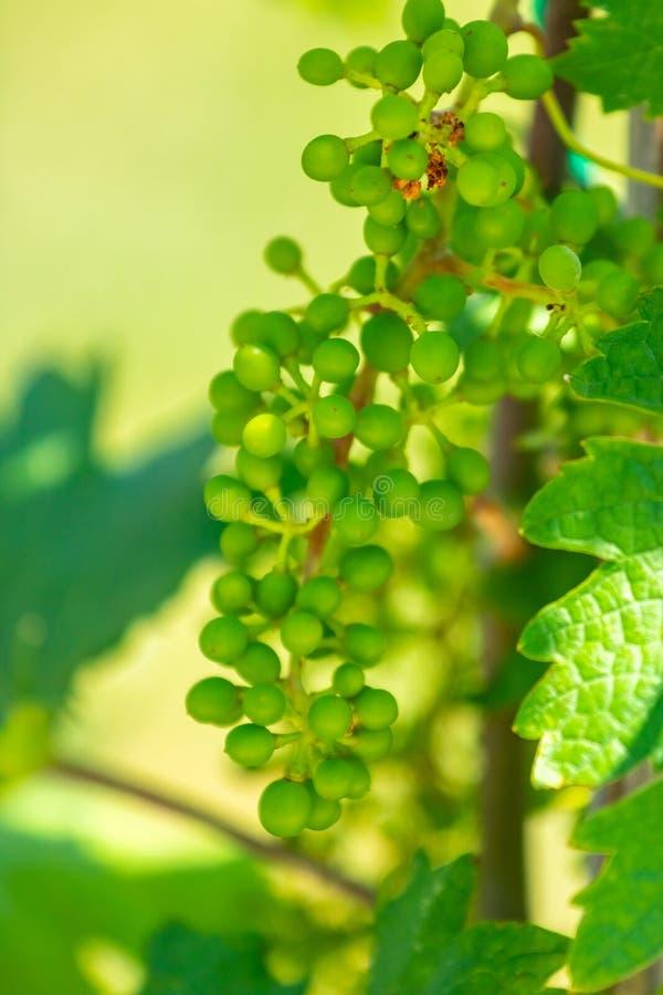 Mazzi di giovane uva non matura Colpo vicino fotografie stock