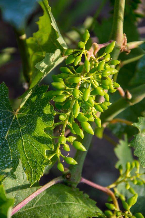Mazzi di giovane uva non matura fotografia stock libera da diritti