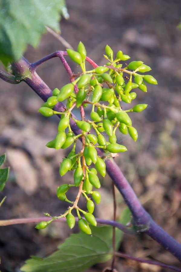 Mazzi di giovane uva non matura fotografia stock
