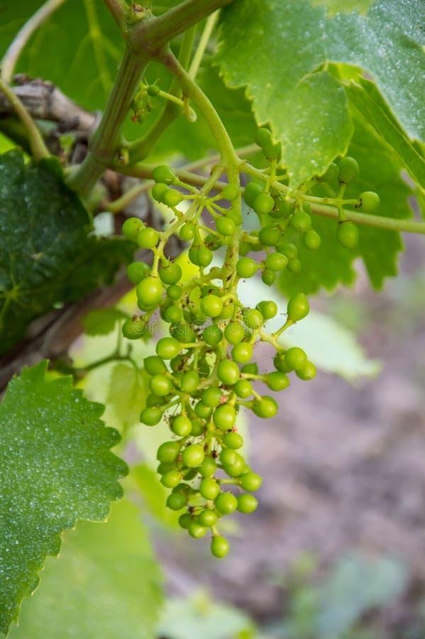 Mazzi di giovane uva non matura immagini stock libere da diritti