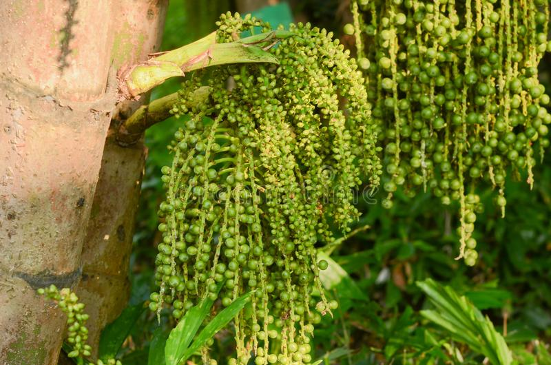 Mazzi di palma a coda di pesce, Wart Fishtail Palm, albero ragruppato della palma a coda di pesce nel parco naturale fotografia stock libera da diritti