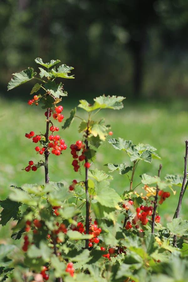 mazzi di ribes rosso su un cespuglio contro un fondo di erba verde fotografia stock libera da diritti