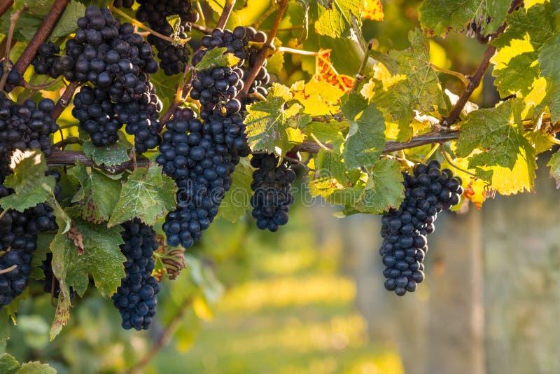 Mazzi di uva nera matura in vigna all'autunno fotografia stock