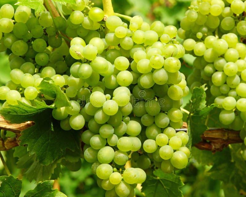 Mazzi di uva verde fotografia stock