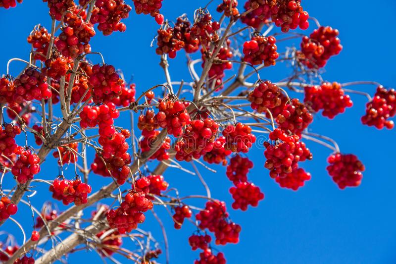 Mazzi di viburno rosso su un fondo di cielo blu fotografia stock libera da diritti