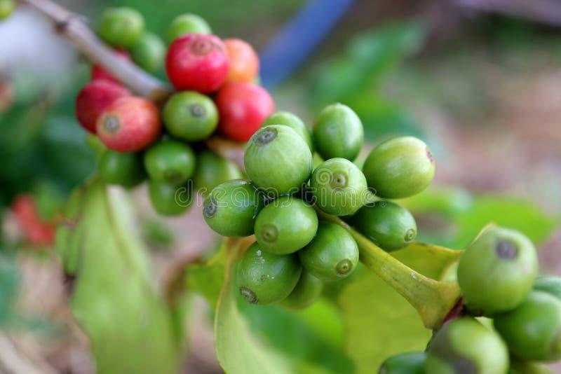 Mazzo alto chiuso di ciliege del caffè che maturano sul ramo della pianta del caffè, Tailandia immagini stock libere da diritti