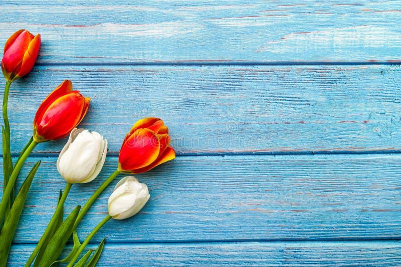Mazzo bianco e rosso dei tulipani sulle plance di legno blu fondo, spazio della copia, vista superiore immagine stock libera da diritti