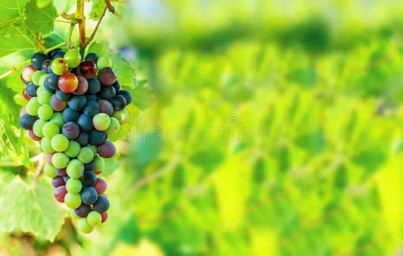 Mazzo blu dolce e saporito dell'uva sulla vite con il copyspace dello spazio libero immagini stock