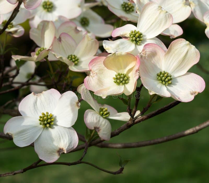 Mazzo croccante fresco delle fioriture del corniolo fotografia stock libera da diritti
