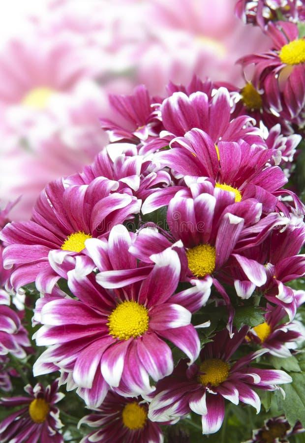 Mazzo dei crisantemi cremisi luminosi fotografia stock libera da diritti