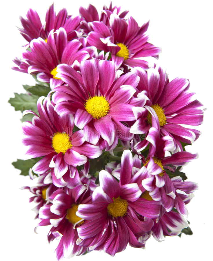 Mazzo dei crisantemi cremisi luminosi immagine stock