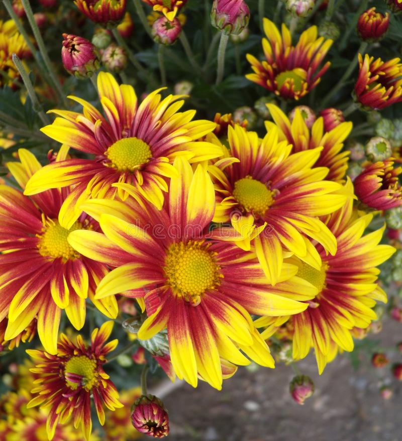 Mazzo dei crisantemi rosso-gialli Carta di autunno del fondo del crisantemo degli annuali Fondo floreale nel giardino Arancia e fotografia stock libera da diritti