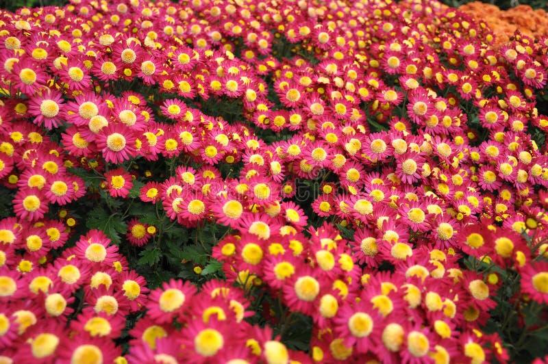 Mazzo dei fiori con i petali di colore rosa con un rivestimento bianco e un cuore giallo immagine stock libera da diritti