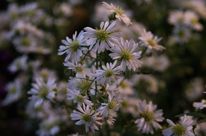 Mazzo dei fiori della margherita bianca del fiore con i fiori della margherita bianca fotografia stock