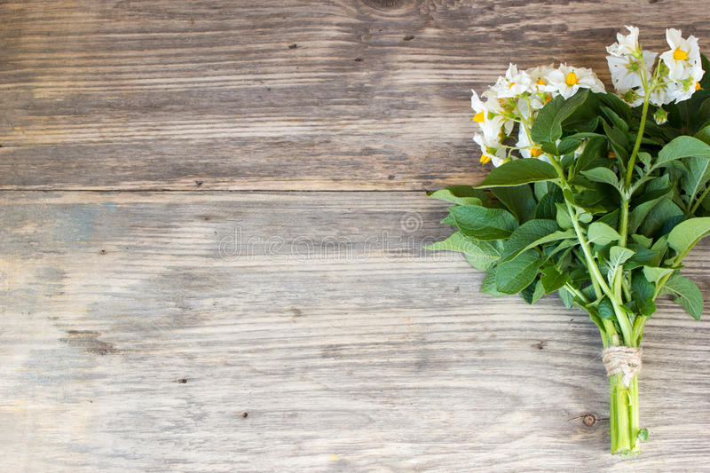 Mazzo dei fiori della patata del giardino fotografie stock libere da diritti