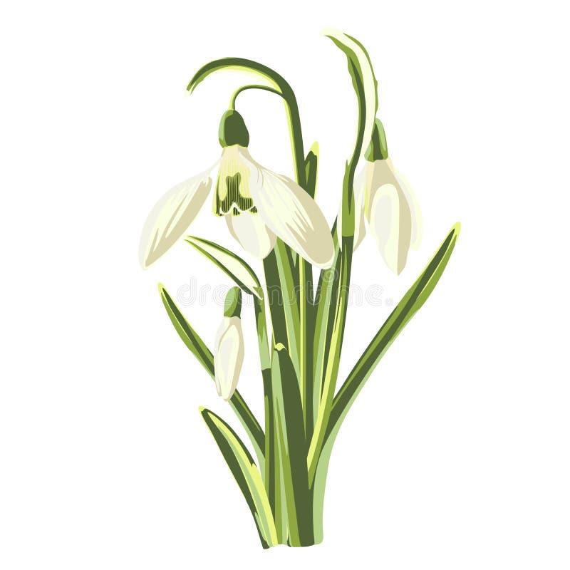 Mazzo dei fiori di bucaneve della primavera su fondo bianco royalty illustrazione gratis