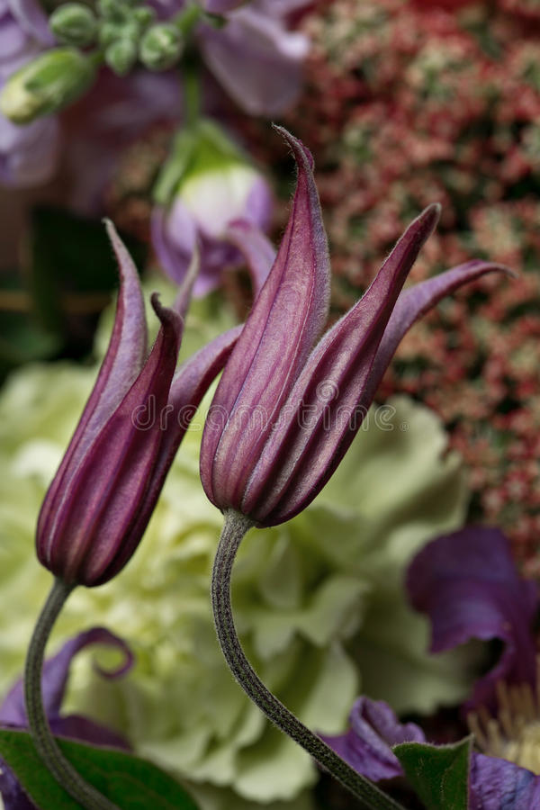 Mazzo dei fiori freschi Scena floreale della clematide porpora del primo piano, luce del giorno, foto originale fondo del mazzo d fotografia stock