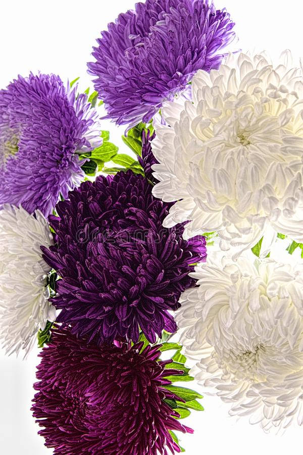 Mazzo dei fiori porpora dell'aster isolati su bianco immagini stock libere da diritti