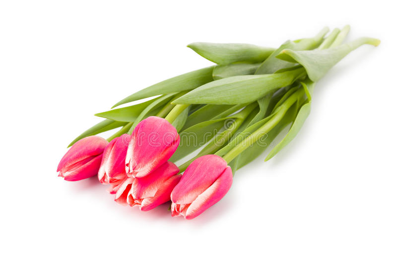 Mazzo dei tulipani di rossi carmini del fiore della primavera isolato su fondo bianco Con il percorso di ritaglio Vista superiore immagine stock