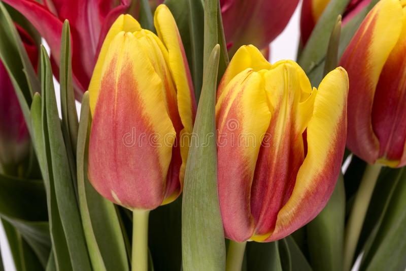 Mazzo dei tulipani dei fiori della molla, giallo e rosso, fine su immagini stock libere da diritti