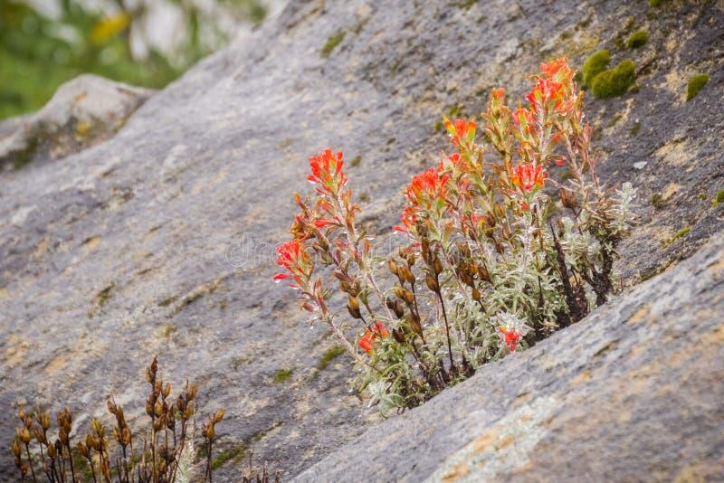 Mazzo dei wildflowers rossi del pennello indiano (Castilleja) che crescono fra le rocce, coperte nelle goccioline di acqua un gio fotografia stock libera da diritti