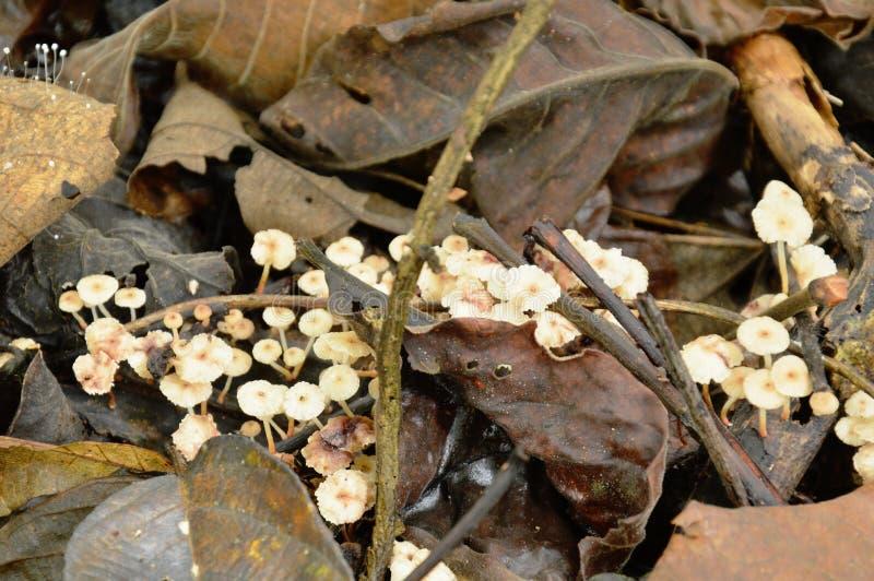 Mazzo del fungo del fungo che cresce dalla terra di collegamento di decadimento in foresta immagini stock