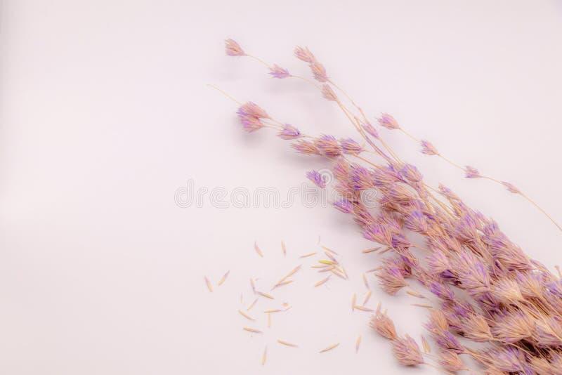 Mazzo del fuoco selettivo dei fiori secchi su fondo bianco Fiore vago e molle dell'erba fotografia stock libera da diritti