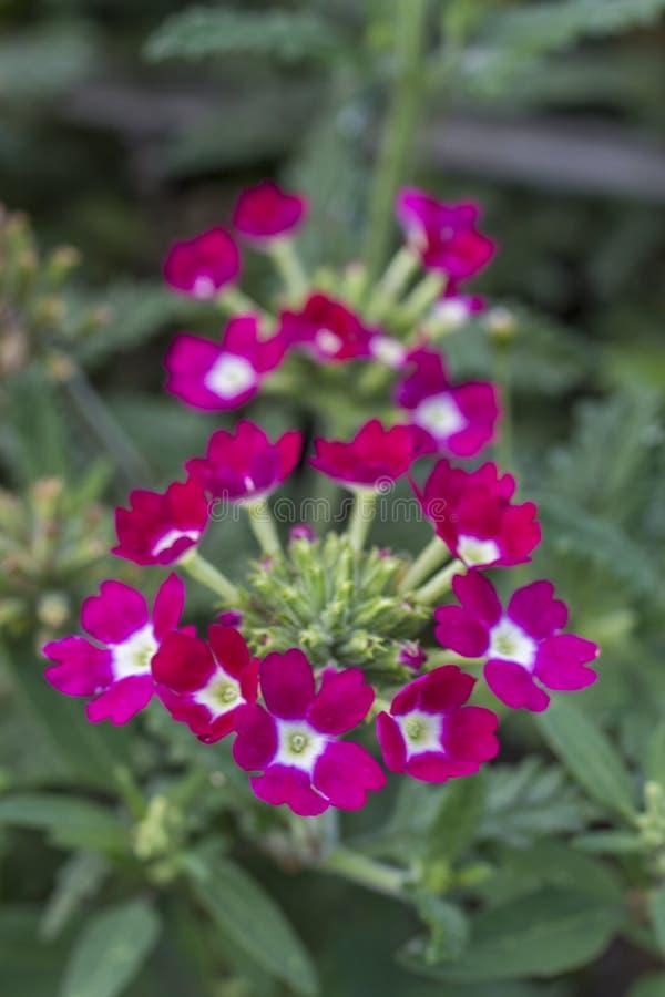 Mazzo del lampone dei fiori fotografia stock