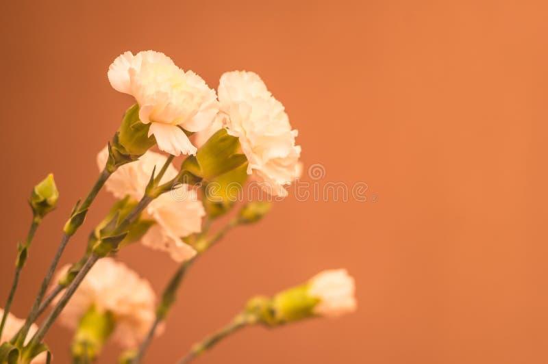 Mazzo del primo piano dei garofani Fiori bianchi su un fondo pastello Copi lo spazio Fuoco molle Concetto della cartolina d'augur fotografia stock