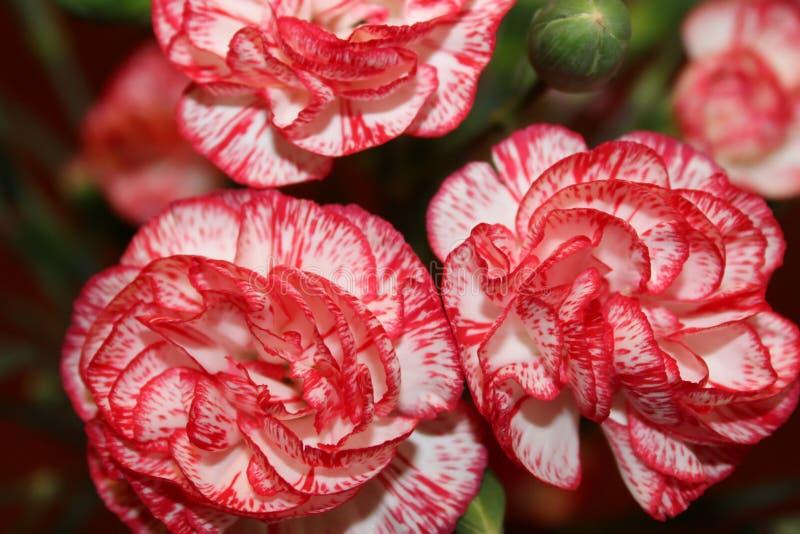 Mazzo del primo piano rosso dei garofani fotografia stock libera da diritti