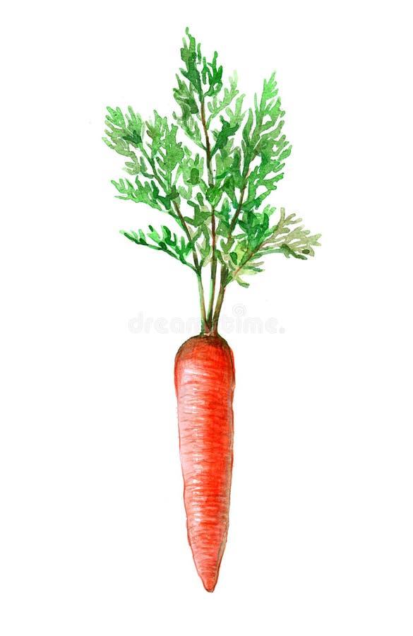 Mazzo dell'acquerello di carote isolate illustrazione di stock