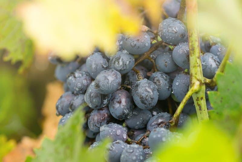 Mazzo dell'uva del vino rosso in vigna coperta di gocce di pioggia fotografie stock