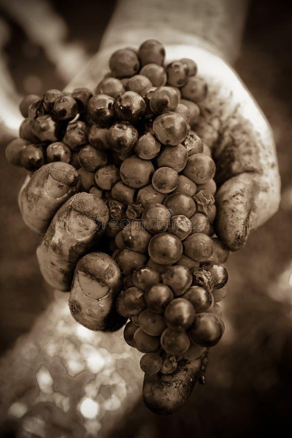 Mazzo dell'uva della holding della mano fotografie stock libere da diritti