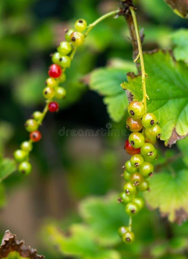 Mazzo dell'uva spina che matura fotografia stock