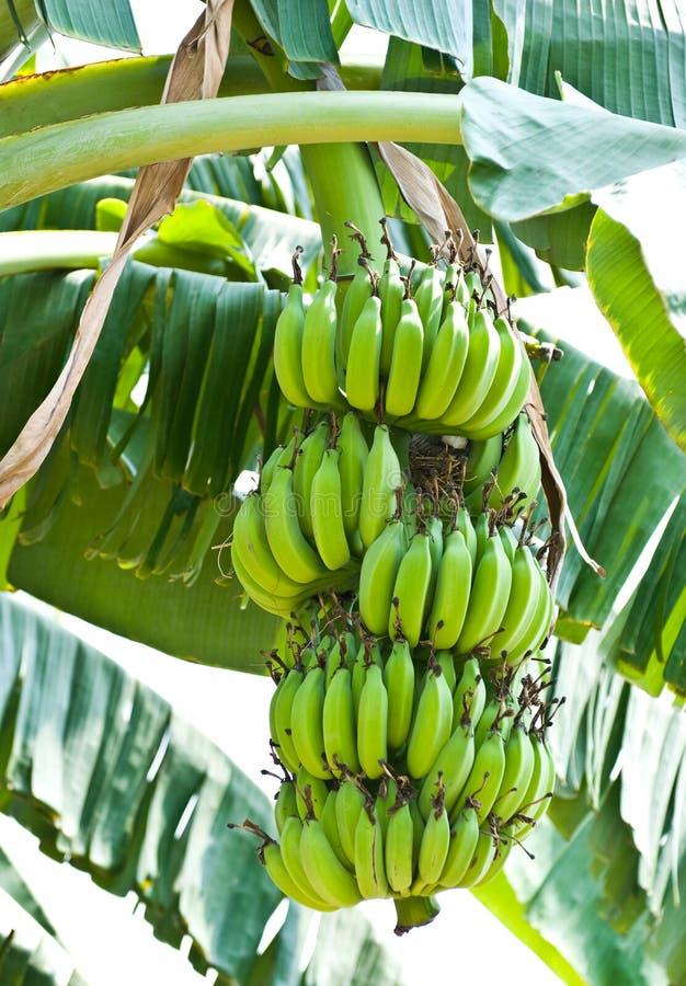 Mazzo della banana sull'albero nel giardino fotografia stock libera da diritti