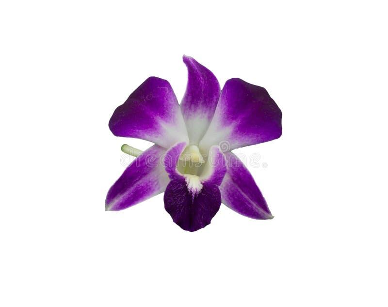 Mazzo delle orchidee porpora isolate su fondo bianco fotografia stock libera da diritti