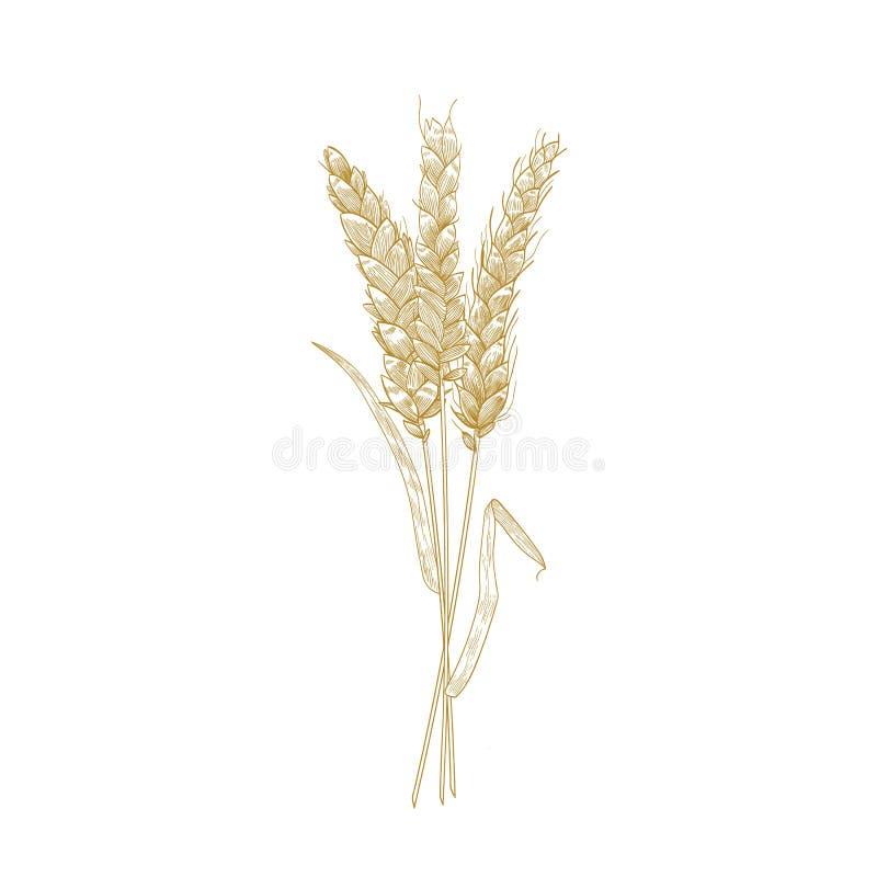 Mazzo delle orecchie del grano disegnate a mano con le linee di contorno su fondo bianco Pianta, grano o il raccolto coltivato de royalty illustrazione gratis