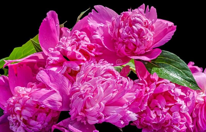 Mazzo delle peonie rosa su un fondo nero fotografie stock libere da diritti