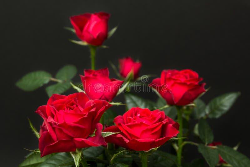 Mazzo delle rose rosse su un fondo nero fotografia stock