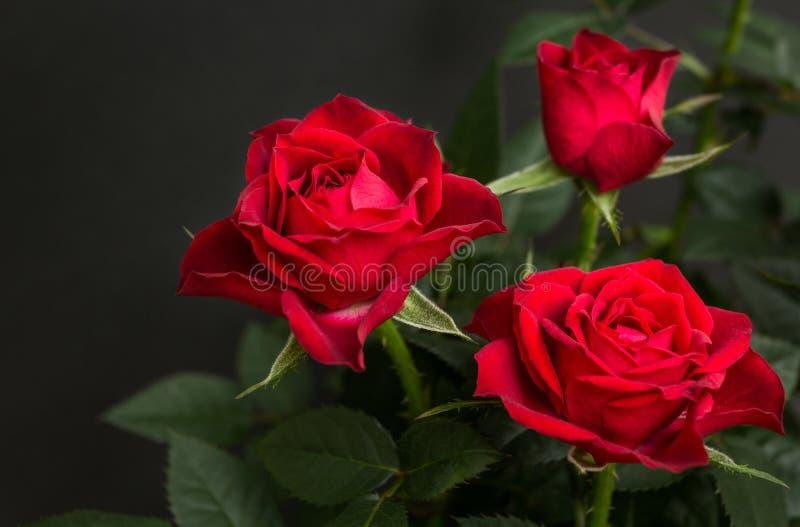 Mazzo delle rose rosse su un fondo nero fotografie stock libere da diritti