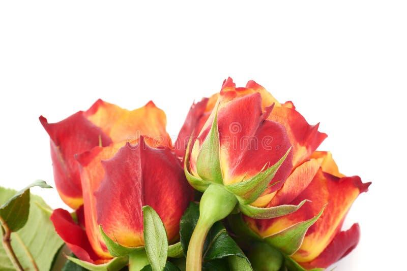 Mazzo delle rose sopra fondo isolato bianco fotografie stock