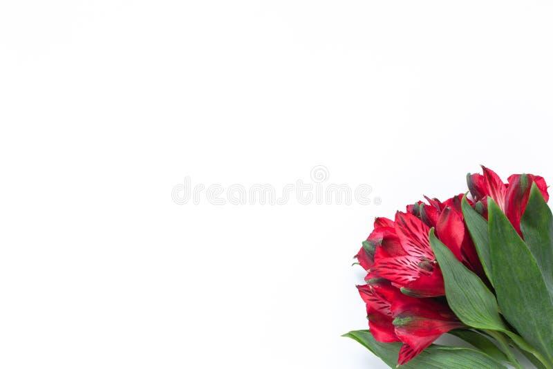 Mazzo di alstroemeria rosso dei fiori su fondo bianco Disposizione piana orizzontale Modello con lo spazio della copia per la car immagine stock