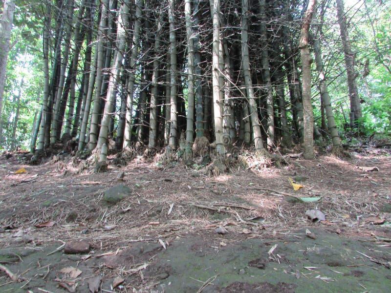 Mazzo di bambù fotografia stock