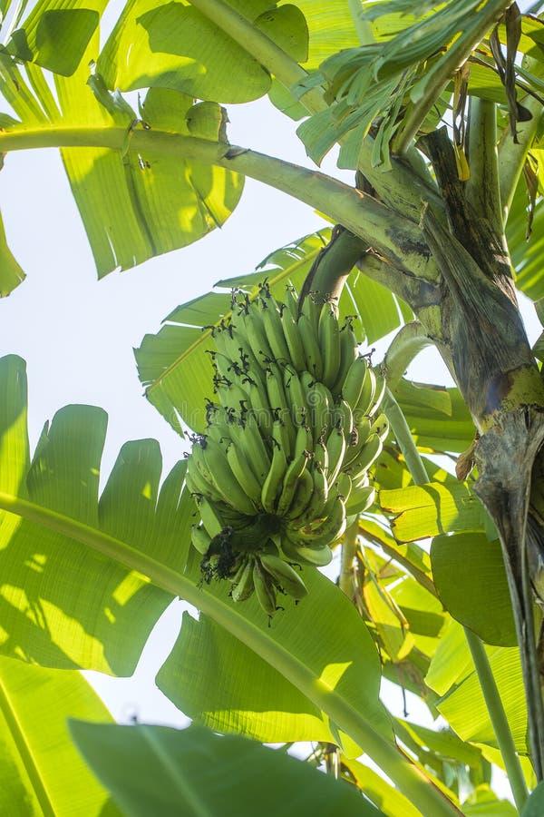 Mazzo di banane verdi sulla palma nel giardino tropicale Isola Bali, Indonesia fotografia stock libera da diritti