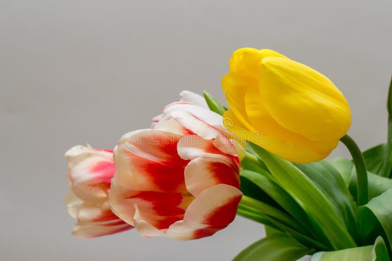 Mazzo di bei tulipani gialli e bianchi rosso immagine stock