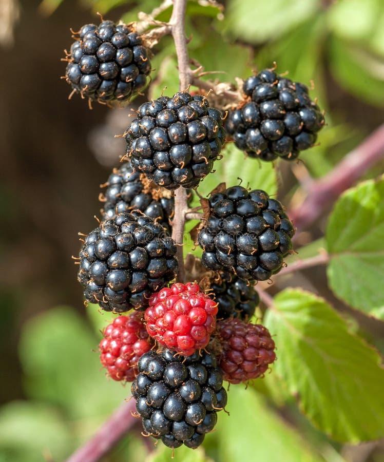 Mazzo di Blackberry immagine stock