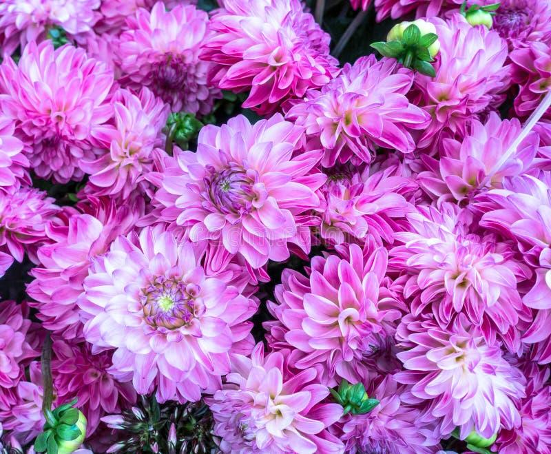 Mazzo di Chrysantemums rosa Primo piano del modello della natura per fondo immagini stock