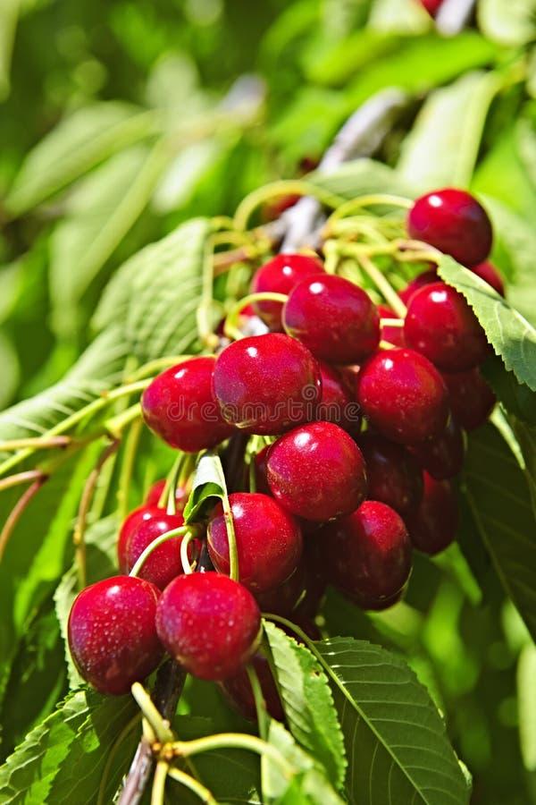 Mazzo di ciliege sull'albero fotografia stock