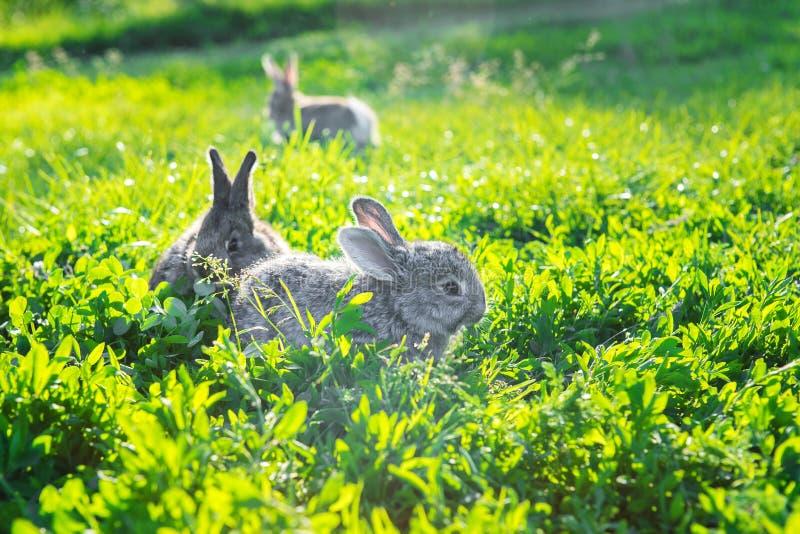 Mazzo di conigli grigi che esplorano erba soleggiata immagine stock libera da diritti