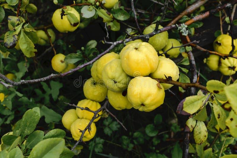 Mazzo di crescita di frutti gialla della cotogna sul cespuglio alla campagna fotografie stock